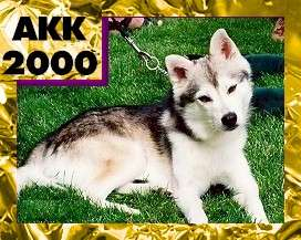 The right side of a black with white Alaskan Klee Kai that is laying across grass. In the top left corner of the image is the words 'AK200'