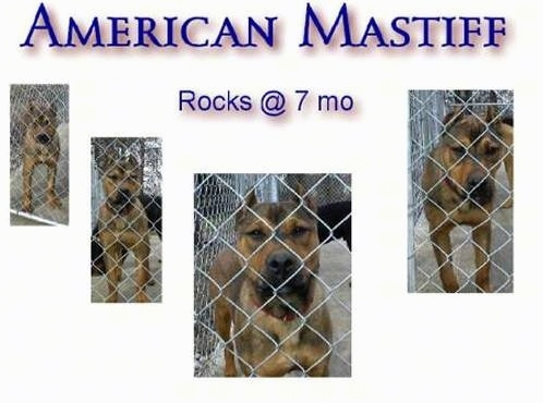 An American Mastiff Poster that says 'American Mastiff Rocks at 7 months'