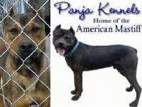 Close up - An American Mastiff is behind a chain link fence next to an overlayed image that says'Panja Kennels home of the American mastiff'