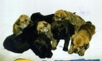 A litter of Berger Picard puppies