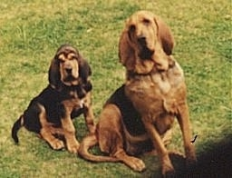 Two Bloodhounds sitting outside next to each other