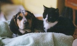 Close Up - Hannah the black, tan, gray and white ticked English Coonhound as a puppy is laying on a towel with a black and white kitten
