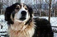 Close Up - Carpathian Sheepdog is standing outside in snow with trees in the background