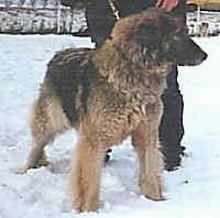 Carpathian Sheepdog is puffed up and standing in snow and looking to the right with a person behind it
