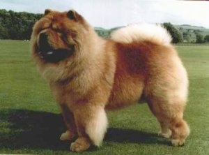 Khan the Chow Chow is standing in a large field and looking to the left. His mouth is open and tongue is out