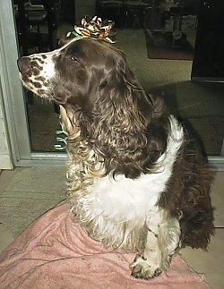 Close Up - Maggie the brown and white English Springer Spaniel is sitting in front of a sliding door. There is a gold ribbon on her head