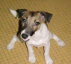 A white with brown and black Smooth Fox Terrier is sitting on a yelow tiled floor, it is looking up, its head is turned to the left and its mouth is slightly open.