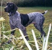 A brown with white ticked German Shorthaired Pointer is standing in a field. There is tall grass in front of it
