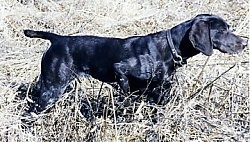A black German Shorthaired Pointer is pointing to the right in a field.