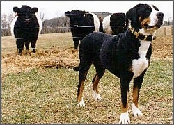 A tricolor black, tan and white Greater Swiss Mountain Dog is standing in a field in front of a wire fence that has three black and white cows behind it.
