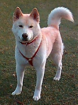 The front left side of a tan and white Japanese Ainu that is standing on grass with a red harness on