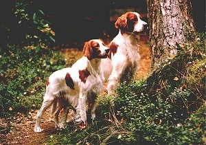 Two white with red Irish Setters are standing on a grassy hill next to a tree in the woods.