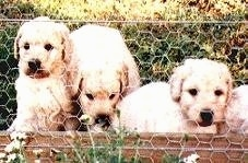 Three Australian Labradoodle Puppies are sitting in front of a brick wall