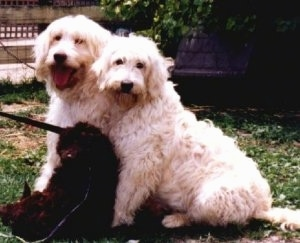 Three Australian Labradoodles sitting together in a lawn, two white adults and one brown puppy