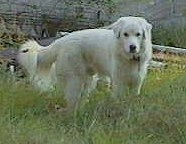 Side view - A white Maremma Sheepdog is standing in medium sized grass. There is a fallen log behind it.