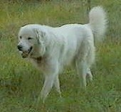 A happy looking, white Maremma Sheepdog is walking across grass and its mouth is open.