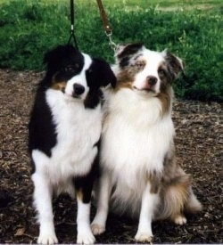 Two Miniature Australian Shepherds are sitting side by side under a tree in dirt. The dog on the left is tricolored and the dog on the right is merle tan, gray and white
