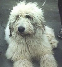 A fluffy coated white Mioritic Sheepdog is laying on a blacktop and there is a person standing next to it.