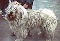 Side view - A long-coated, shaggy-looking white Mioritic Sheepdog is standing on a concrete area with a person behind it. Its mouth is open and tongue is out.