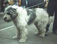 A white with gray Mioritic Sheepdog is standing outside on a black top surface at a dog show. There are people in the distance watching.