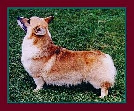 Left Profile - A short-legged, tailless, long-bodied tan with white Pembroke Welsh Corgi is standing on grass and looking up and towards the left.