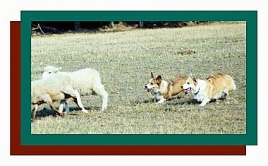 Two corgis hearding a couple of sheep. There is a green border and then a red border and a white border around the whole photo.