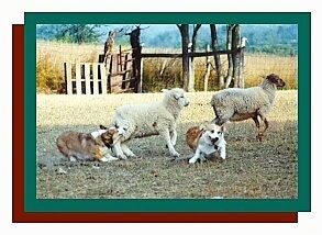A Corgi on the left is biting the sheep on the left. The right Corgis is running away from both sheep. The Right Sheep is running towards the right. There is a green border and then a red border and a white border around the whole photo.
