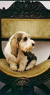 Front view - A white with black Petit Basset Griffon Vendeen dog is sitting in an olive green with wood fancy chair looking to the right.