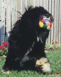 A black with tan and white Polish Lowland Sheepdog has a colorful mini soccer ball in its mouth and it is sitting in grass. There is a wooden fence and red flowers behind it.