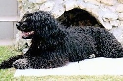A wavy-coated, black Portuguese Water Dog is laying across a concrete surface and behind it is a large rock surface. Its mouth is open and tongue is out. It is looking to the left.