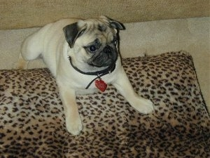 A cute little wrinkly tan with black Pug puppy is laying on top of a cheetah print pillow.