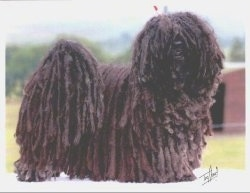 Side view - A black dreaded Puli is standing on a table and it is looking forward. There is a small signature placed towards the bottom right of the image.