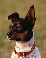 Close up head and shoulder shot - A white with black and brown Rat Terrier is sitting in grass looking to the left. Its left ear is flopped over and its right ear is standing straight up. Its squinting eyes are buldging.