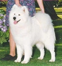 The front left of a white Samoyed that is standing in grass, its mouth is open and its tongue is out. Behind it is a lady wearing a flowered dress touching its head and tail to pose it in a show stack.