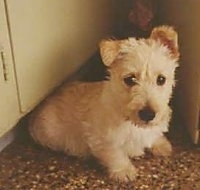 A white Scottish Terrier puppy is sitting in front of a cabinet and it is looking forward. One of its ears is up and the other is folded over. It has round black eyes.