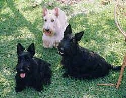 Three Scottish Terriers are sitting and standing in grass. They are looking up. There is a wicker chair to the right of them. One dog is white and two are black.