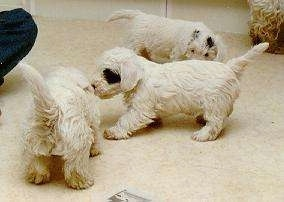 A litter of three Sealyham Terrier puppies are standing on a carpet and they are sniffing each other. One puppy has black around one of its eyes with a white body, the other has a black spot next to its ear with a white body and the other puppy is pure white.