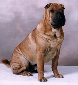 A wrinkly, tan Chinese Shar-Pei is sitting on a surface, there is a backdrop behind it, its head is turned forward, but it is looking to the right. It has a very square looking black muzzle with squinty black eyes.