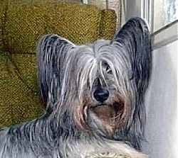 Close up - A grey and black with brown Skye Terrier is laying on a chair in front of a window and it is looking forward. It has perk ears with long hair hanging from them. The hair on its face is covering up its eyes. It has a big black nose.