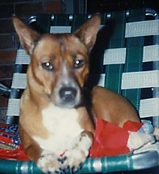 Close up - A brown with white and black Telomian is laying in a green and white lawn chair on top of a folded blanket looking forward. It has tall perk ears, brown almond shaped eyes and a black nose.