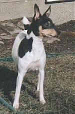 Close up front view - A white with black and tan Toy Fox Terrier is standing in a yard and it is looking to the right. The dog has perk ears.