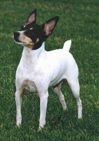 Front side view - A white with black and tan Toy Fox Terrier is standing across a grass surface, it is looking up and to the left. The dogs body is all white and its head is black with brown.