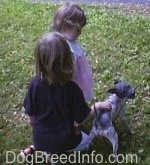 Ripley the American Hairless Terrier is playing in the yard with two children