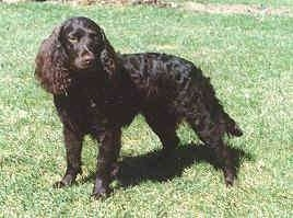 The left side of a black American Water Spaniel that is standing in a yard and it is looking forward.
