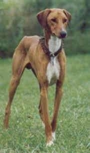The front right side of a brown with white Azawakh Hound that is standing in a grass field and it is looking to the right.