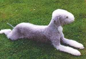 A curly coated gray and white dog laying in grass. Its coat is shaved short with longer hair down its muzzle, legs and tip of its ear.