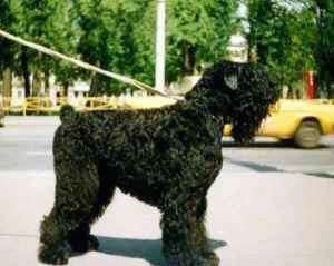 Left Profile - Black Russian Terrier looking into the distance with a yellow car driving in the background