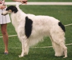Right Profile - CH. Swiftess Brother to Dragons the Borzoi standing and being led by a person wearing a skirt at a dog show
