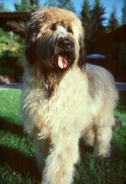 Grendel the Briard standing outside with its mouth open and tongue out