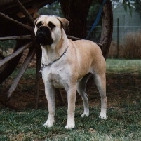 Opalguard Blondie the Bullmastiff is standing outside next to a giant wooden wheel